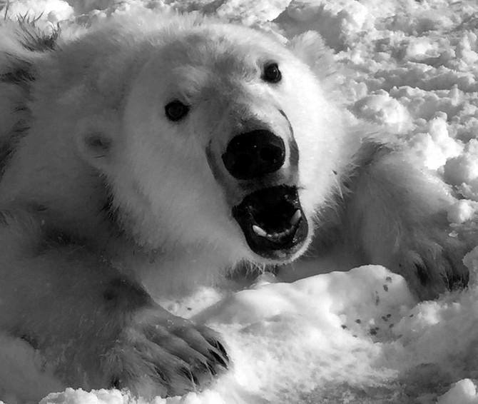 Polar Bears #8 and #9