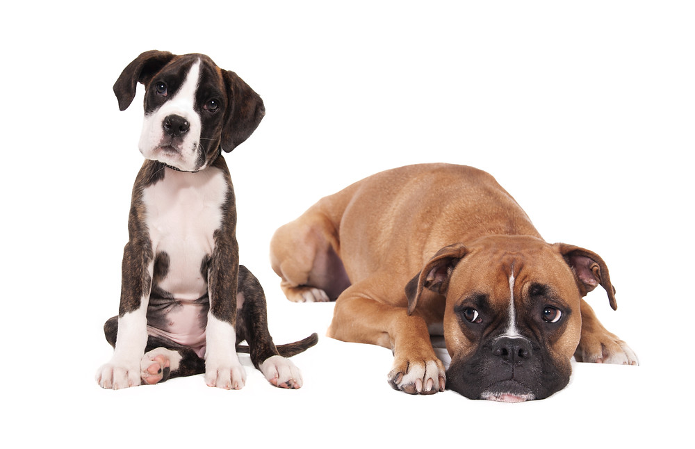 Animals___Dogs_Young_and_adult_boxers_on_a_white_background_050444_.jpg