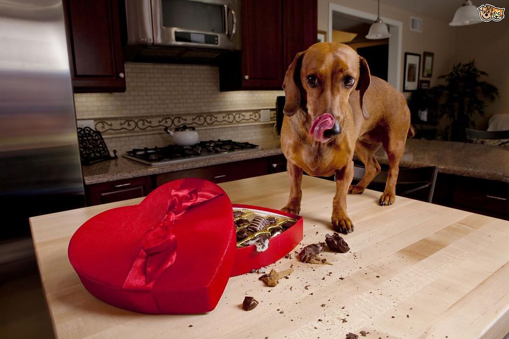 intoxication chocolat vétérinaire