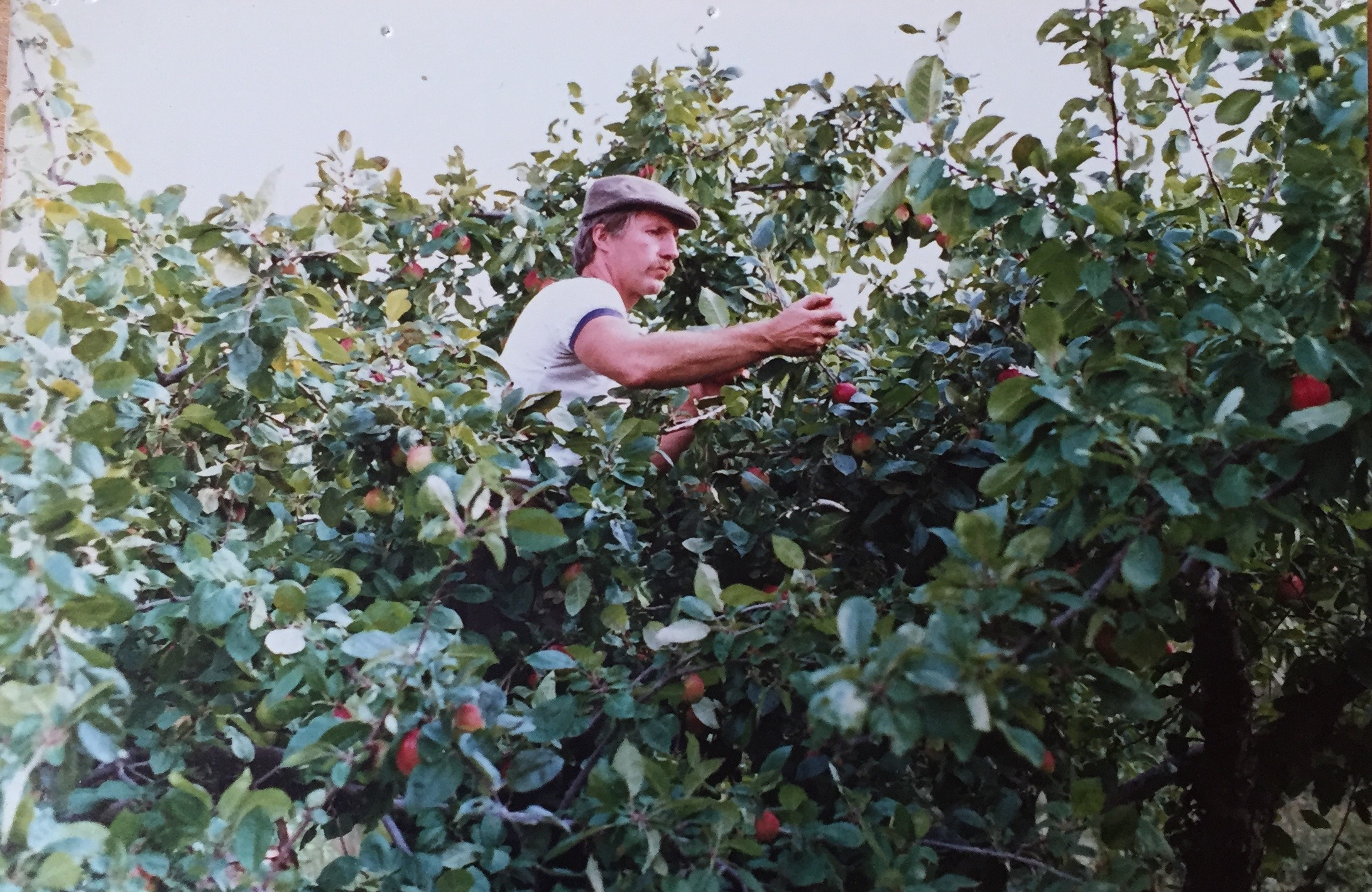 Yip's son, Chas, picking apples