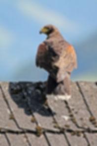 Roofvogel, Oostenrijk