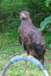 Roofvogel, België