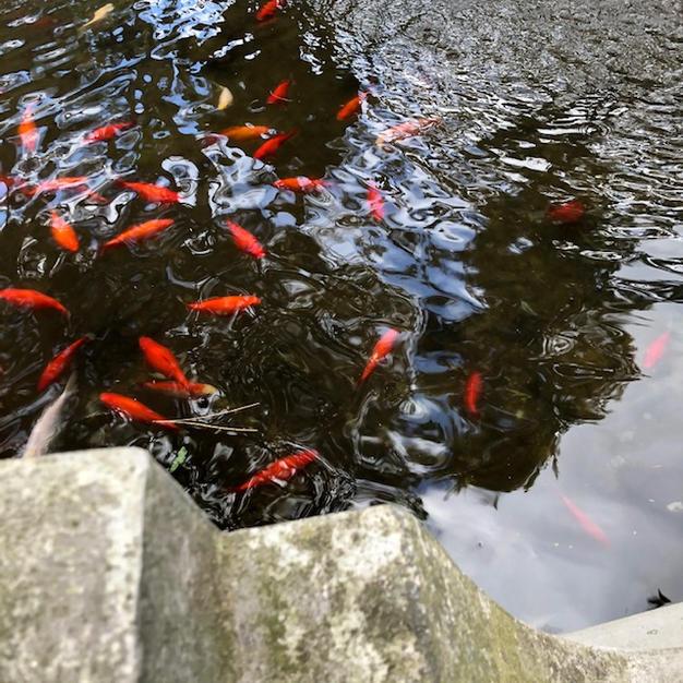 Busy Goldfish