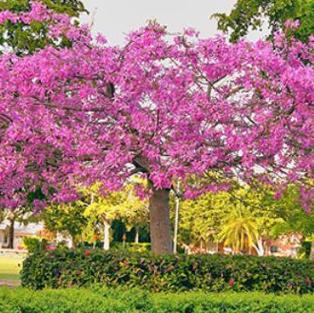 Silk Floss Tree in Bloom