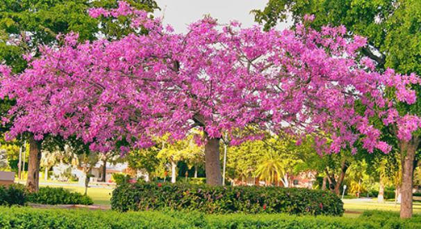 Silk Floss Tree in Bloom
