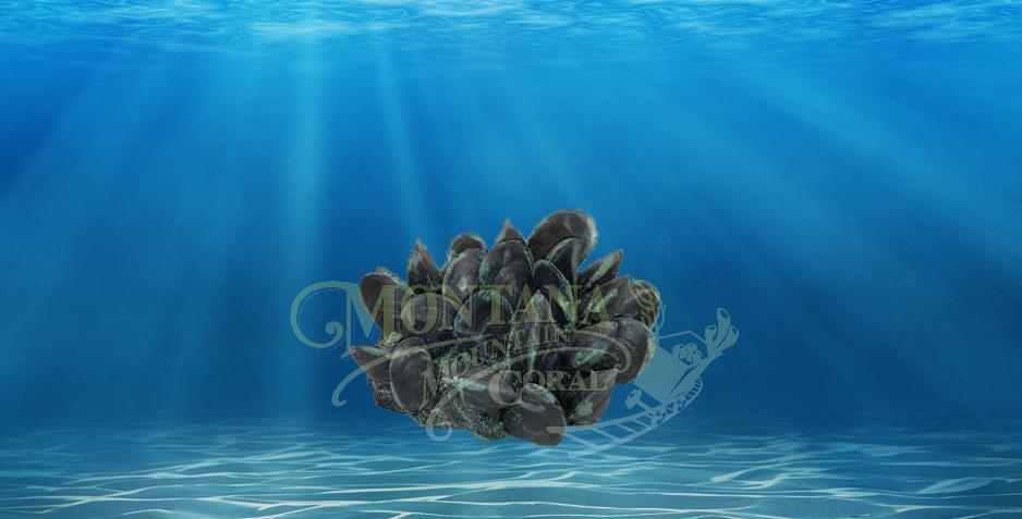 #920 Mussel Cluster
