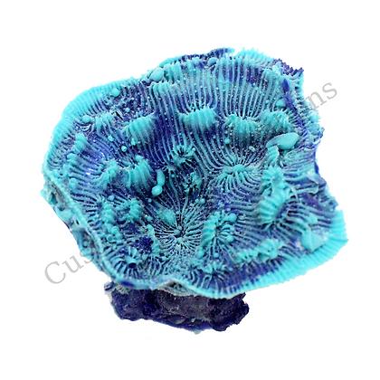 Small Echinophyllia
