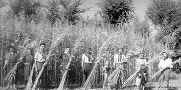 1914 hemp history.jpg