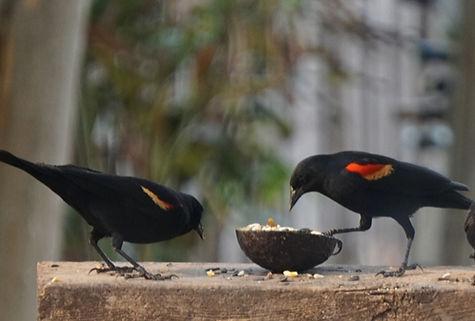 Redwinged Blackbird (1).jpg