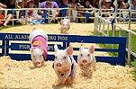Racing Pigs.jpg