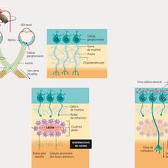 Faire repousser les neurones