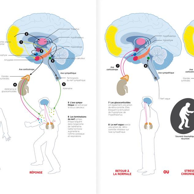 Stress - La mobilisation des hormones