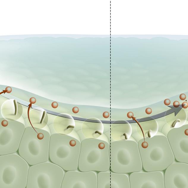 Rupture de symétrie chez l'embryon