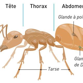 Anatomie de la fourmi