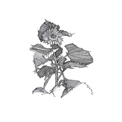 Sunflower VIII