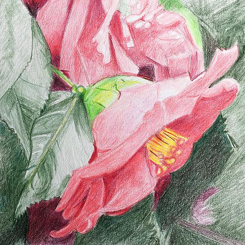 Camellia IV