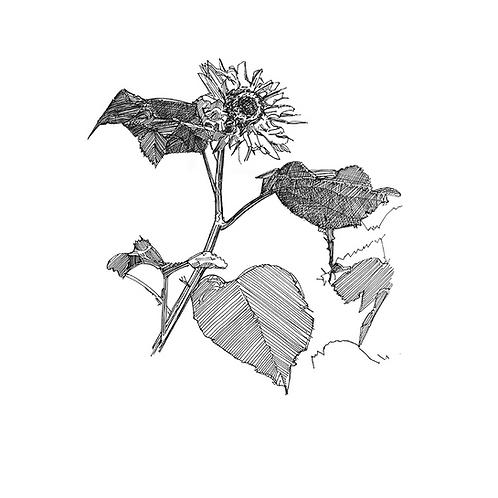 Sunflower VII