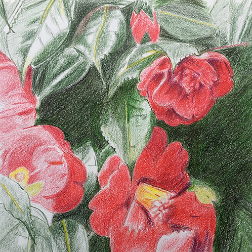 Camellia III