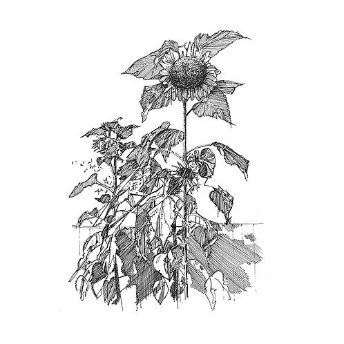 Sunflower IX