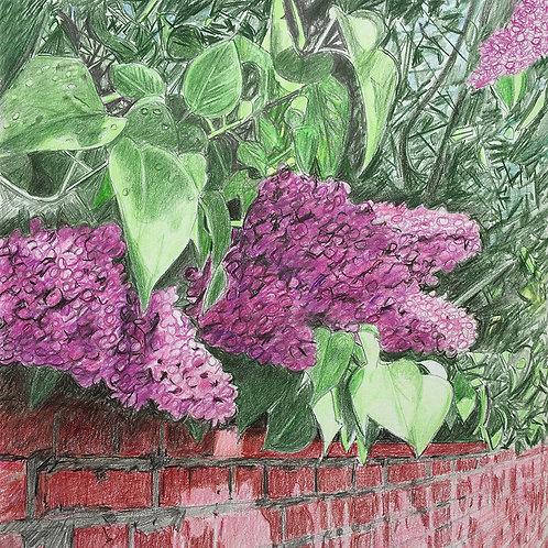 Lilac Along Herrick Road