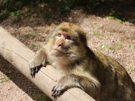 Гора обезьян в 50 км от Страсбурга