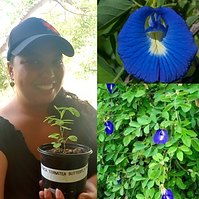 Butterfly Pea Flower.png
