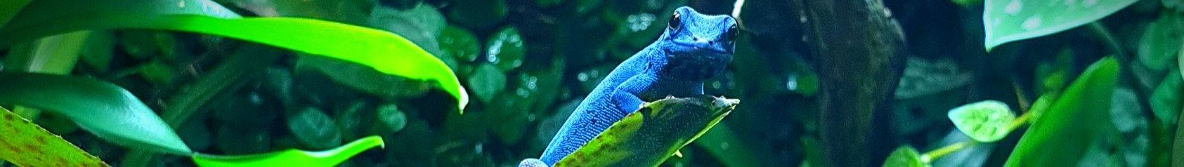 Lygodactylus williamsi - Himmelblauer Zweggecko