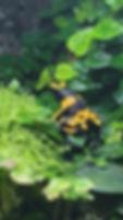 Dendrobates leucomelas British Guyana