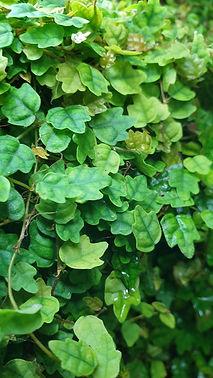 Eichenlaub Ficus