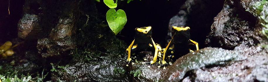 Dendrobates leucomelas - der Gelbgebänderten Baumsteiger