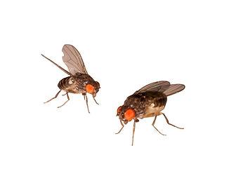 Drosophila (Fruchtfliegen).jpg