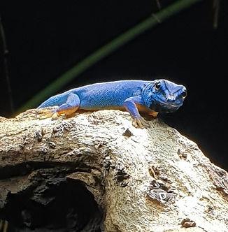 Lygodactylus_Williamsi_männchen_6.jpg