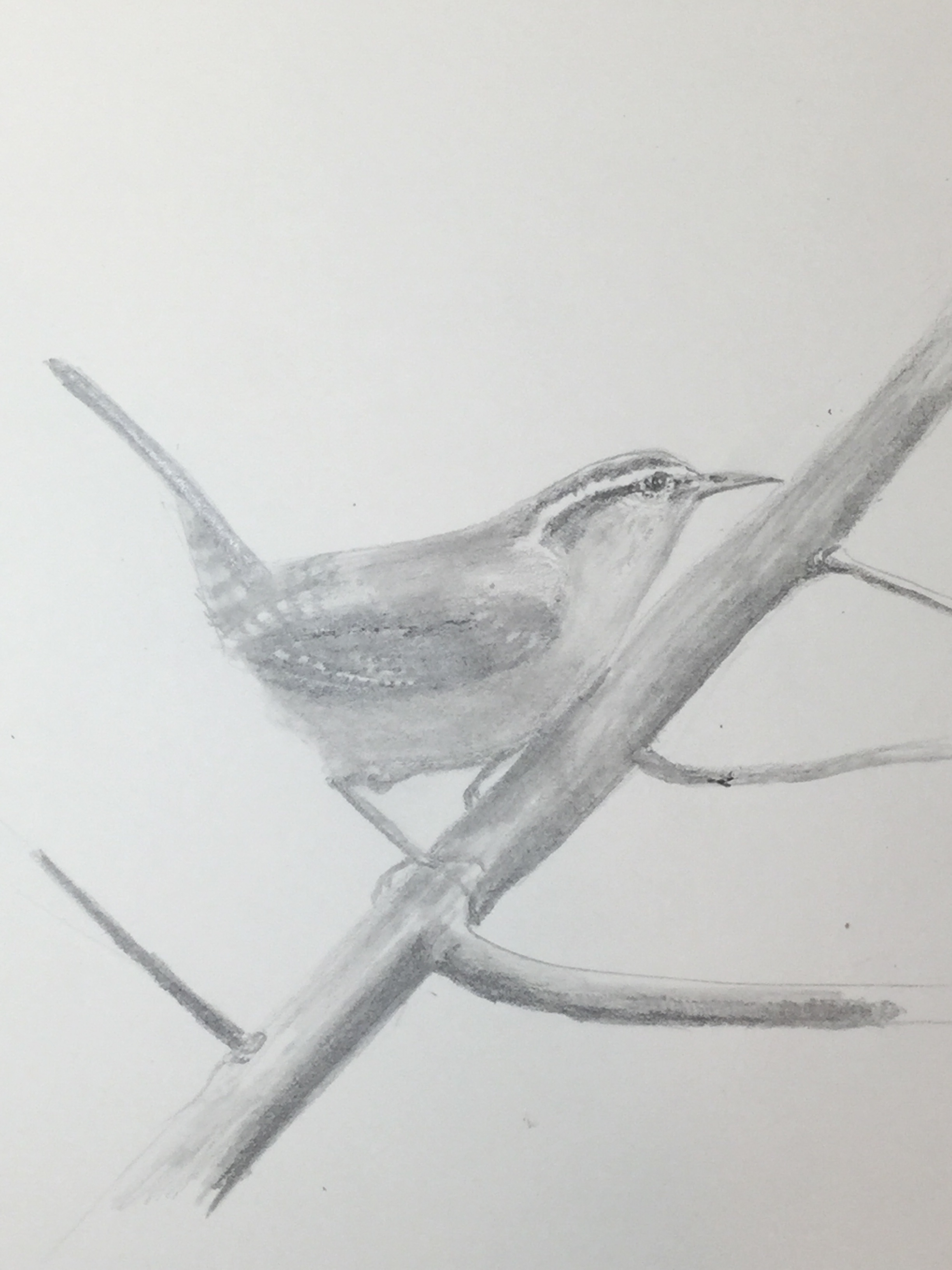 #9 Wren on branch