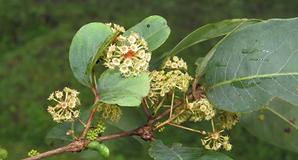 Anogeissus latifolia.PNG