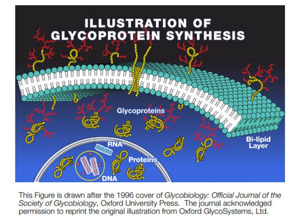 glycoprotein synthesis.PNG
