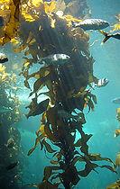 220px-Kelp-forest-Monterey.jpg