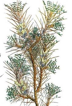 Astragalus gummifer.PNG