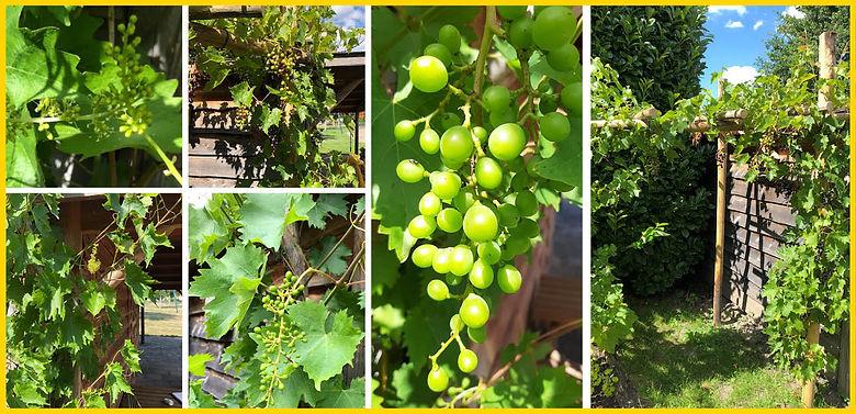 Druiven op de mol juli 2020.jpg