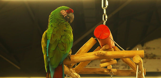 A Green Macaw perches on a branch.