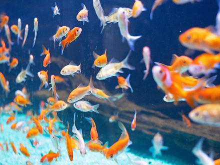 A school of goldfish swims in a tank.