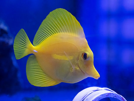 A colorful yellow tropical fish swims in a blue tank.