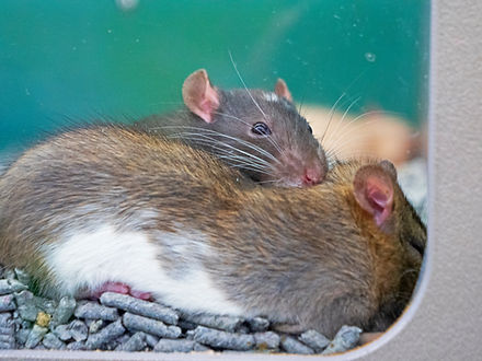 Two rats cudle up for a nap.