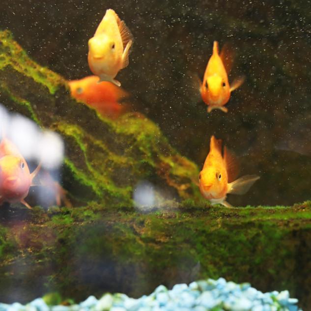 Goldfish.jpg