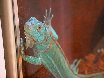 A green iguana peers through the glass of a terrarium.