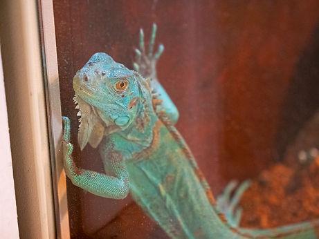 A Green Iguana peers up through the glass of a terrarium.