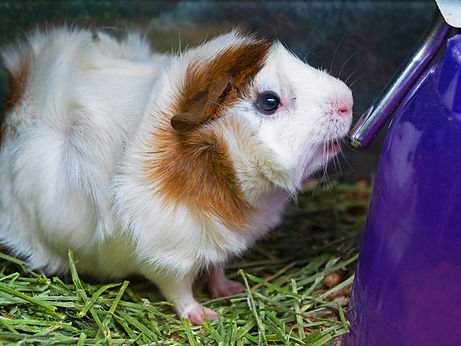 A white guinea pig with brown spots drinks water.