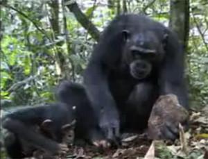 Чтобы стать людьми, обезьянам не хватает рабочей памяти