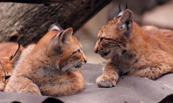 Рысята. Общество сородичей приятно рыси только в детстве. Фото П. Б. Рябко, «Природа»