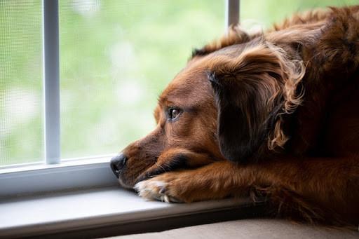 Приведет ли режим самоизоляции к проблемам в поведении собак?