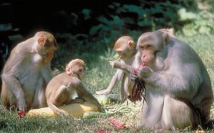 Найдено ключевое различие между человеческим и обезьяньим интеллектом